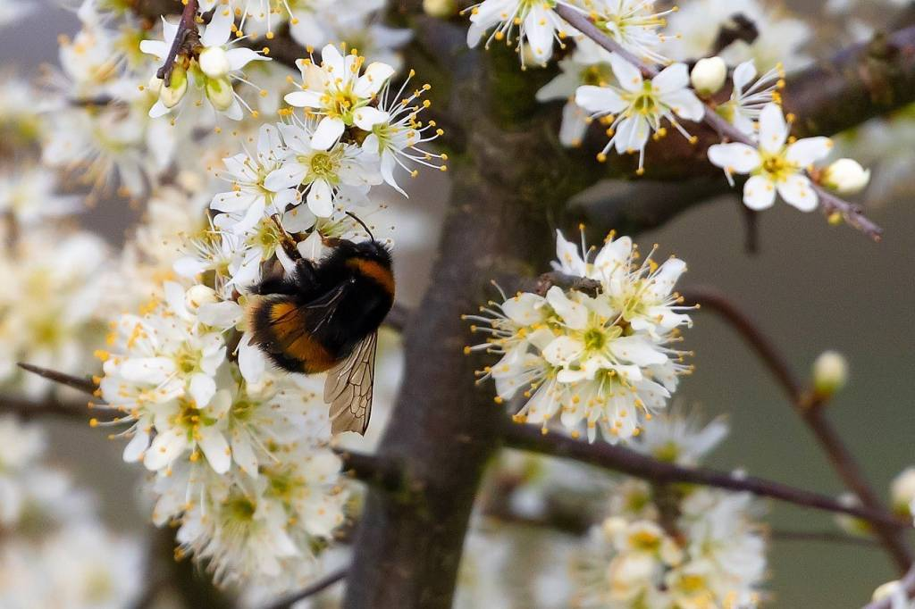 Hawthorn and bee