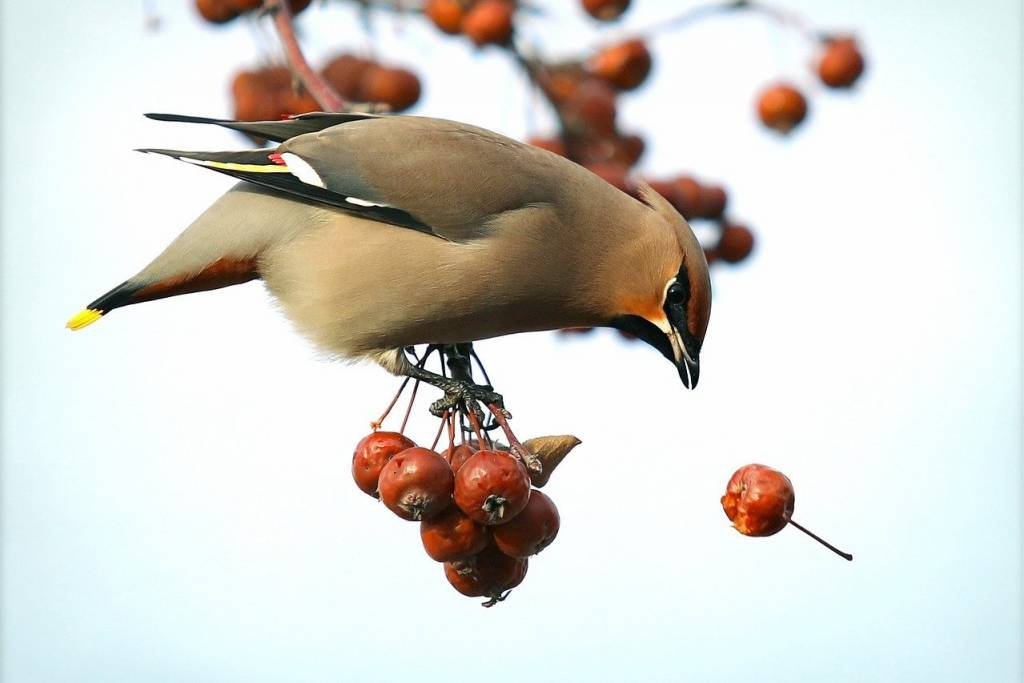 Hawthorn and waxwing